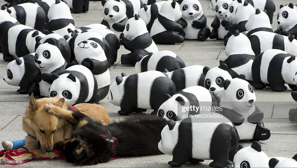 A pair of dogs play amidst some of the 1600 panda figures standing in front of Berlin's main railway station on August 5, 2013 as part of a stunt organised by the World Wildlife Fund for Nature (WWF) on the occasion of the German chapter's 50th anniversary. The 1600 figures, corresponding to the number of real pandas remaining, will tour various cities in Germany over the next three months.