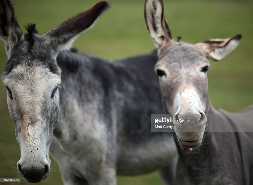 A pair of donkeys two of the several thousand currently looking to be rehomed by the Donkey Sanctuary stand in the yard at a farm where they are...