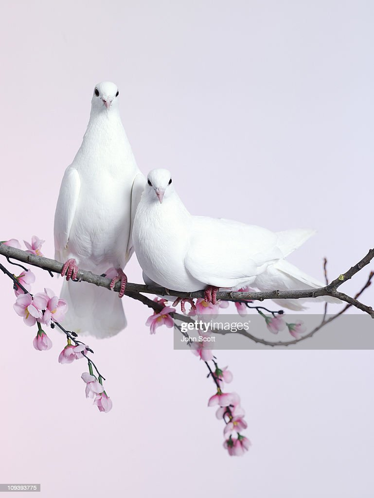 A pair of doves sat on a branch with blossom : Stock Photo