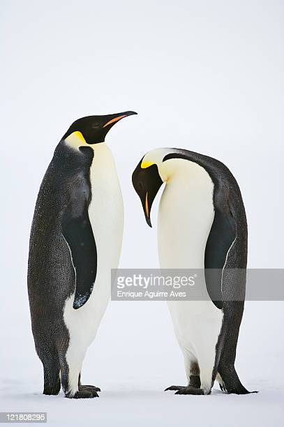 Pair of Emperor penguins (Aptenodytes forsteri) in courtship ritual dance, Snow Hill Island, Weddell Sea, Antarctica