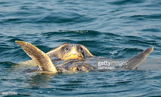 A pair of endangered Olive Ridley turtles mate in the waters of The Bay of Bengal off the mouth of the Rushikulya River in Ganjam District some...