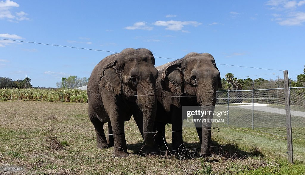 A pair of female elephants stand together on March 8, 2016 in their enclosure at the Ringling Bros. Center for Elephant Conservation in Polk City, Florida, where circus elephants retire. The last 11 elephants performing with the Ringling Bros. circus had their last show May 1, 2016. / AFP / Kerry SHERIDAN / TO GO WITH AFP STORY BY KERRY SHERIDAN-'Circus elephants' retirement home promises pampered life '