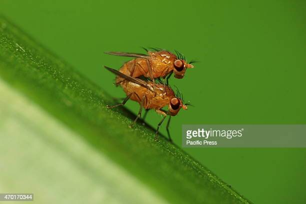 A pair of fruit flies or Drosophila sp doing mating The 17000 islands that comprise the nation of Indonesia stretch more than 3000 miles along the...