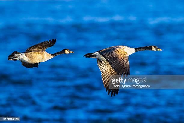 Pair of Geese in Flight