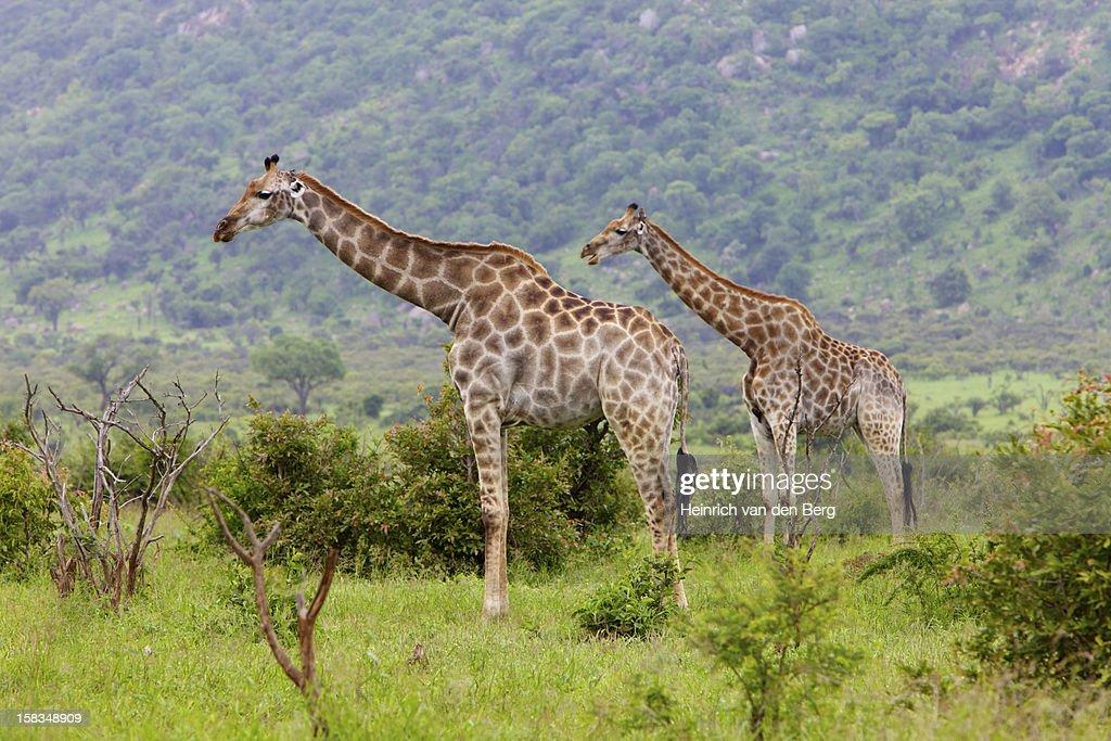 Pair of Giraffes, Kruger National Park : Stock Photo