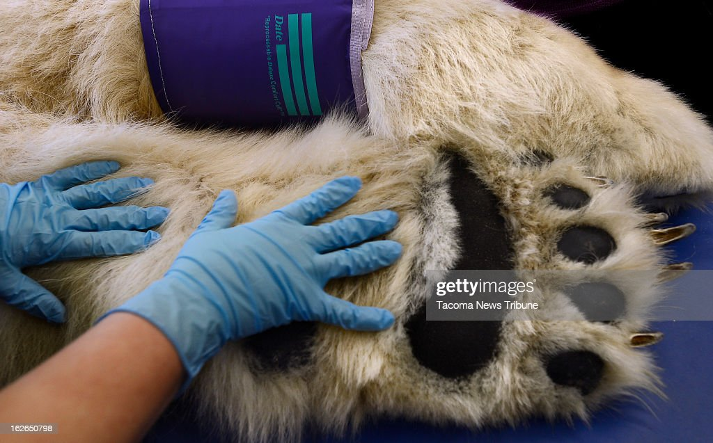 A pair of gloved hands are dwarfed by the furry paws of Boris the Polar Bear at the Point Defiance Zoo & Aquarium's animal health care hospital Saturday, February 23, 2013 in Tacoma, Washington.