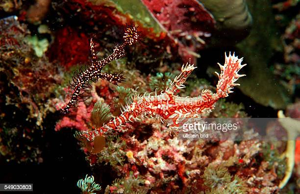 A pair of Harlequin ghost pipefishes Solenostomus paradoxus Philippinen Bohol Sea Pacific Ocean Panglao Island Bohol