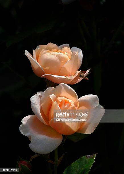 Pair Of Healthy Fresh Peach Coloured Roses Named Ambridge