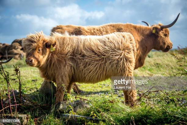 A pair of Highland cows stand in a field on a farm in the Scottish Highlands near Dunnet.