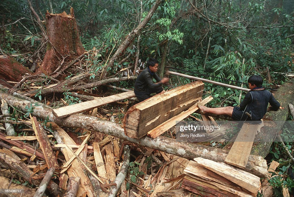 A pair of Hmong boys cuts a sandalwood log into pieces small enough to be carried out of the jungle by Hmong men. Behind them is the stump of the tree from which the log came. Much of the wood on the ground is scrap that will be left behind to rot. Even when cut into pieces and taken out of the forest, just a small portion of the sandalwood tree is actually used.\Logging is illegal in the Hoang Lien Son Nature Reserve, but a slab of rare sandalwood can fetch $20-$100, as much as a Hmong family can make in a year of rice farming..