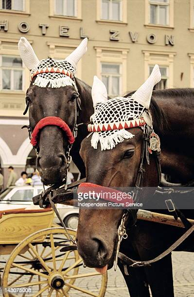 A pair of horses with crocheted cotton fly veils outside the Hotel Zvon in Ceske Budejovice Czech Republic
