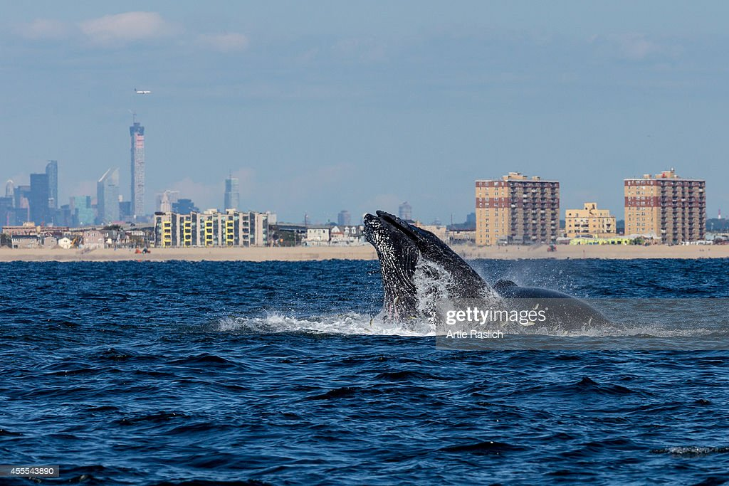 A pair of Humpback whales lunge feeding off NYC's Rockaway Peninsula with Mid Town Manhattan in the background on September 15 2014 in New York City