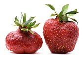 Pair of imperfect organic heirloom strawberries isolated closeup