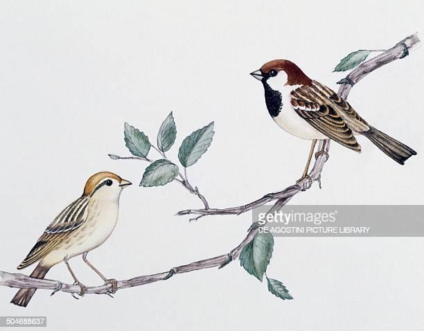 Pair of Italian Sparrows Passeridae drawing