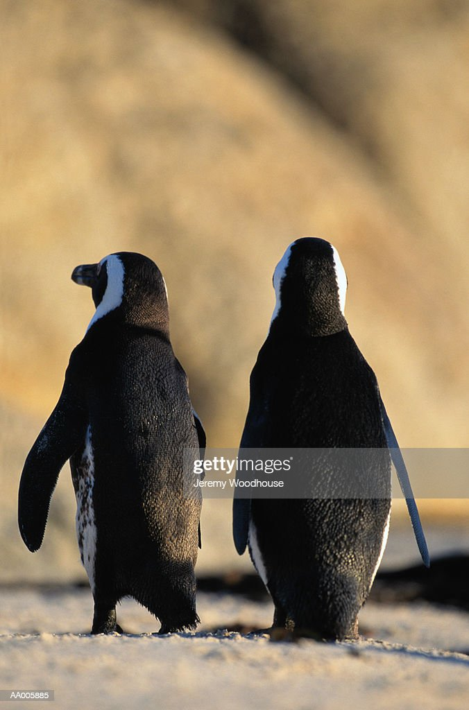 Pair of Jackass Penguins : Stock Photo