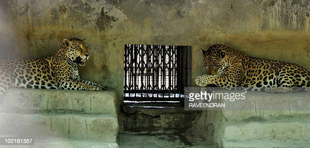 A pair of Jaguars rest in their enclosure to beat heat at the Zoological Park in New Delhi on June 17 2010 The unrelenting heat persists in the...