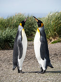 A pair of courting king penguins standing with beaks raised toward the sky. Tussac grass is in the background. Shallow depth of field.