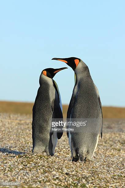 Pair of King Penguins, Falkland Islands