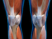 Ligaments and muscles of pair of knees in close up frontal view