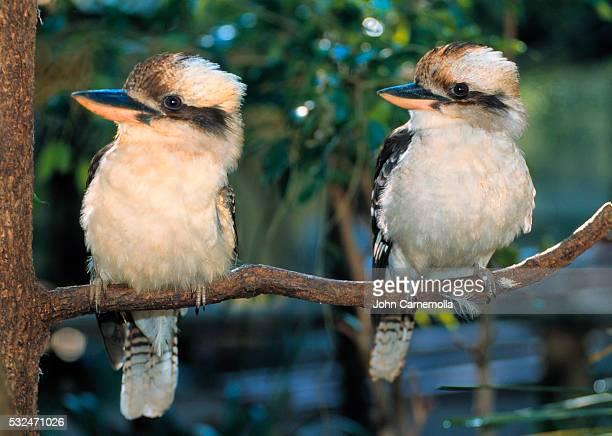 Pair of Kookaburras on branch