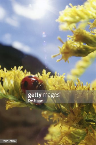 A pair of ladybugs mating on yellow flowers : Stock Photo