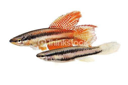 Pair Of Lagos Red Killifish Aquarium Fish Killi