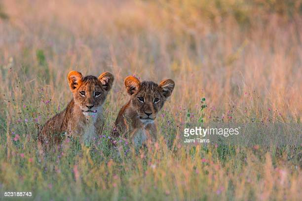 A pair of lion cubs hiding in tall grass