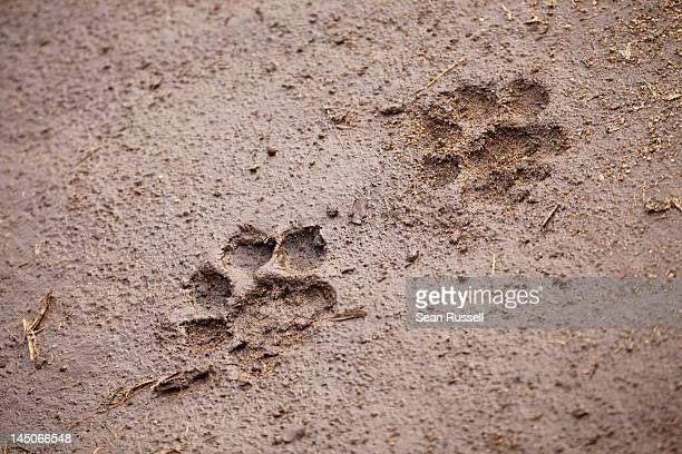 A pair of lion paw prints, close-up