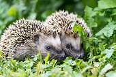 Pair of little hedgehogs are feeding on fresh green grass.