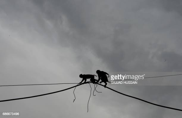 A pair of macaques cross an eletric wire in the Indian capital New Delhi on May 22 2017 / AFP PHOTO / SAJJAD HUSSAIN