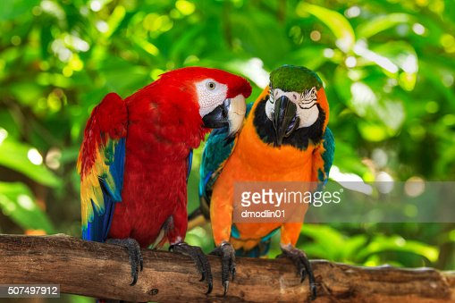pair of macaws perching on a branch : Stock Photo