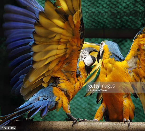 A pair of Macaws playing with each other at the Delhi Zoo on May 13 2015 in New Delhi India