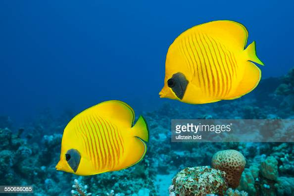 Pair of Masked Butterflyfish Chaetodon semilarvatus St Johns Red Sea Egypt