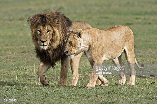 Pair of mating lions in courtship, Ngorongoro Crater, Tanzania