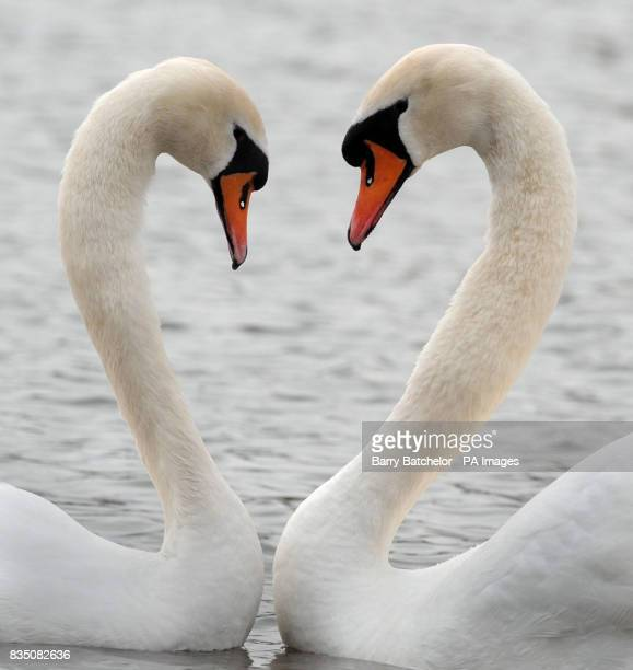 A pair of Mute swans at the Wildfowl Wetlands Trust at Slimbridge in Gloucestershire begin their elaborate courtship display by making the classic...