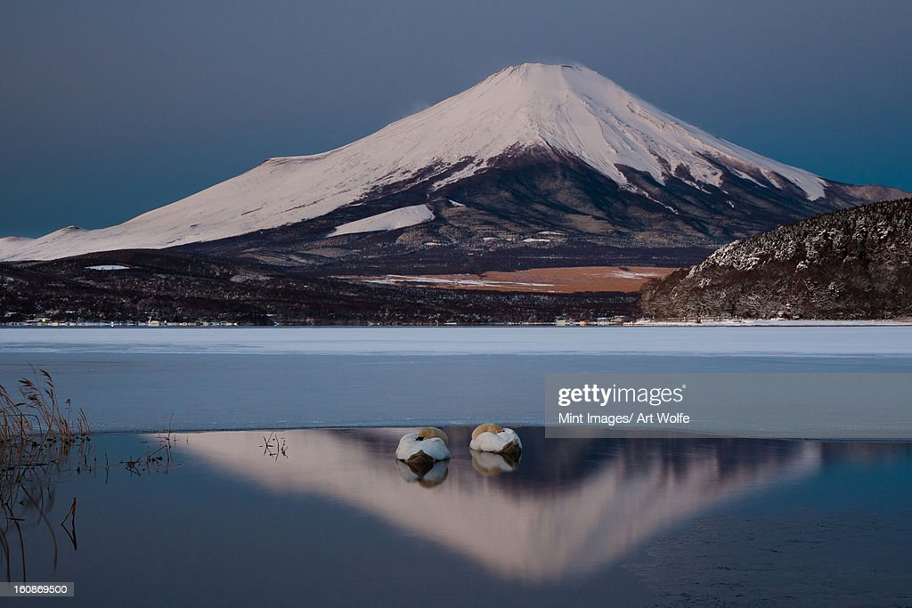 A pair of mute swans in Lake Kawaguchi in the reflection of Mt. Fuji, Japan : Stock Photo