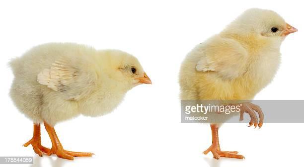 Pair of new born baby chicks