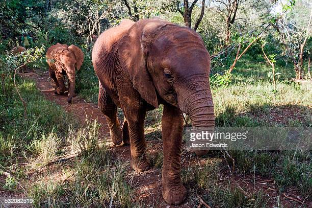 A pair of orphaned African Elephant calves walking along a trail through a wildlife shelter.