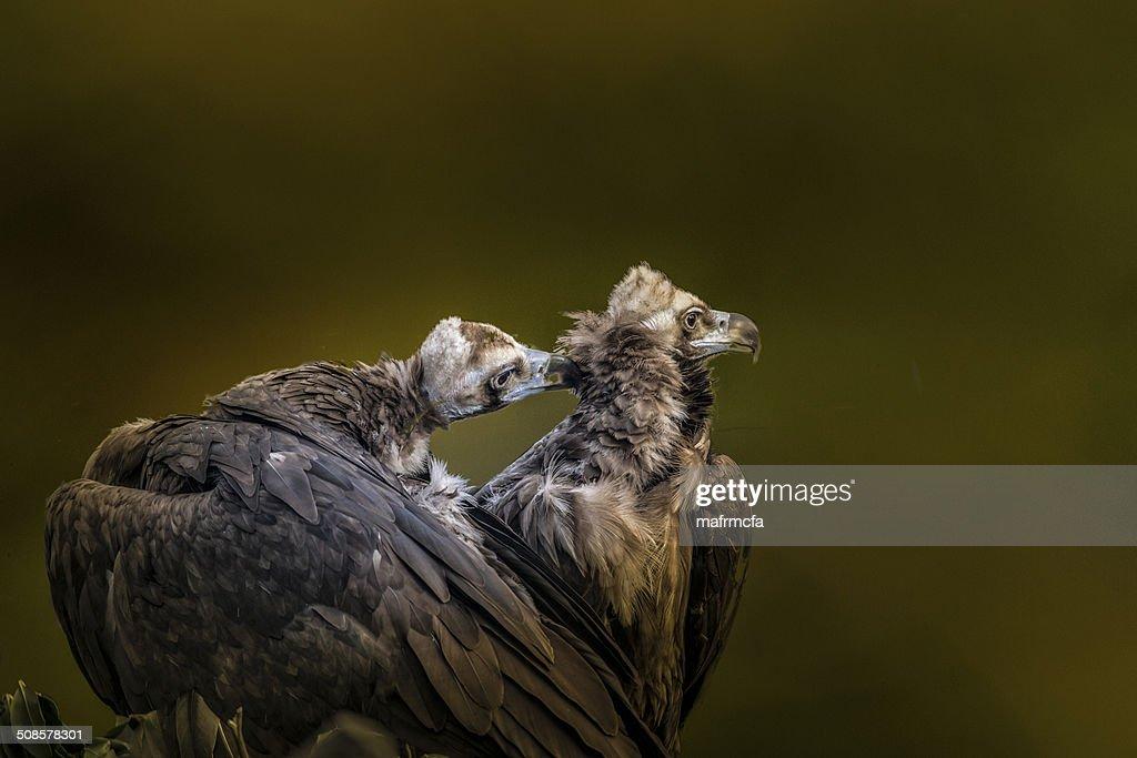 pair of osprey : Bildbanksbilder