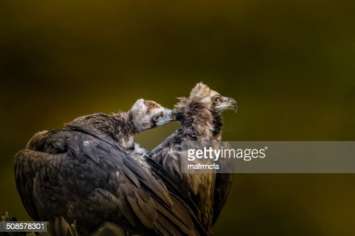 pair of osprey : Stock Photo