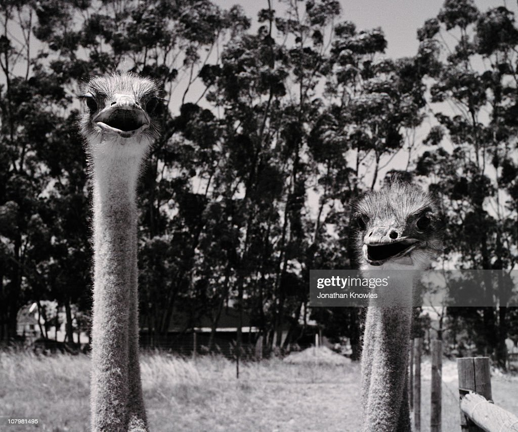 Pair of ostriches, shot in black & white : Stock Photo