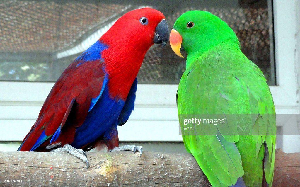 A pair of parrots play together on Valentine's Day at Suzhou Zoo on February 14, 2016 in Suzhou, Jiangsu Province of China.