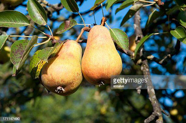 pair of pear on tree