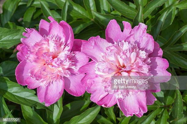 A Pair of Pink Peonies