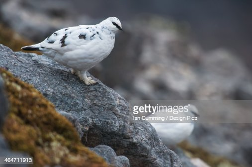 Pair Of Ptarmigans In White Winter Plumage On Ben Damph