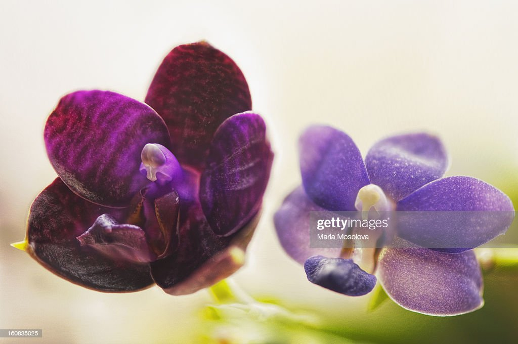 A Pair of Purple Orchid Flowers : Stock Photo