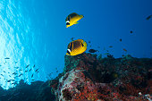 A pair of racoon butterflyfish (Chaetodon lunula) swimming in Fiji waters.