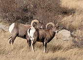 A Pair of Rams in Colorado