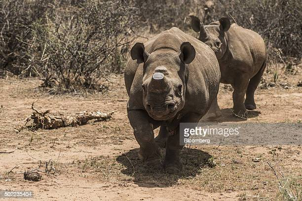 A pair of rare black rhinos one with its horns removed as an antipoaching measure graze in the bush on a ranch belonging to John Hume John Hume hotel...