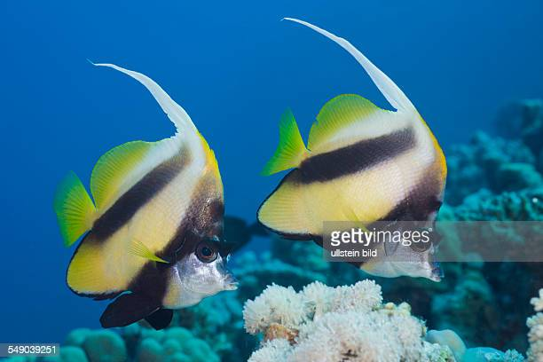 Pair of Red Sea Bannerfish Heniochus intermedius Elphinestone Reef Red Sea Egypt